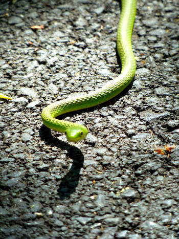 Green Snake on the Pathfinder