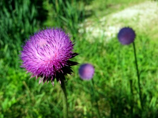 Fourth Thistle