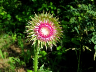 Second Thistle