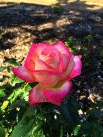 Tulsa Roses