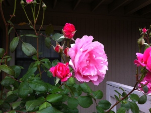 Harper Rose Blooms