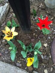 Tulips around the mailbox