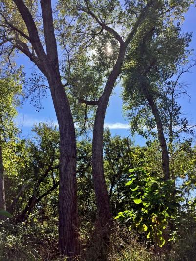 bowed-trees