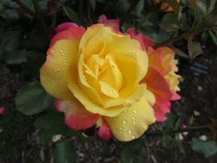 International Rose Test Garden Rose